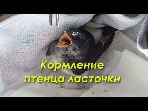 Как кормить птенца ласточки в домашних условиях