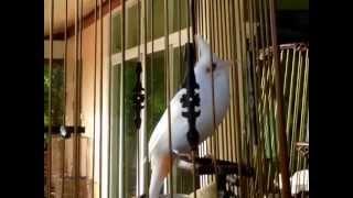 Repeat youtube video นกเผือกพี่น้อง ร้อง ริก