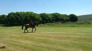 Smart Irish Sports Horse. Ad ref: 192199