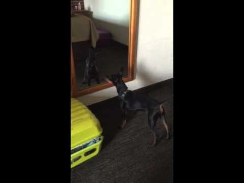 Manchester terrier.Funny dog videos 2015 try not to laugh.Dog very funny playing.
