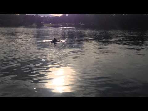 Dolphins in Parramatta River at Putney (Sydney)