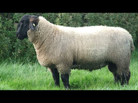 Suffolk Sheep | Large Meat Producers