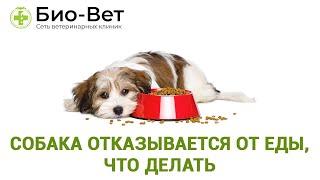 Собака отказывается от еды, что делать. Ветеринарная клиника Био-Вет.