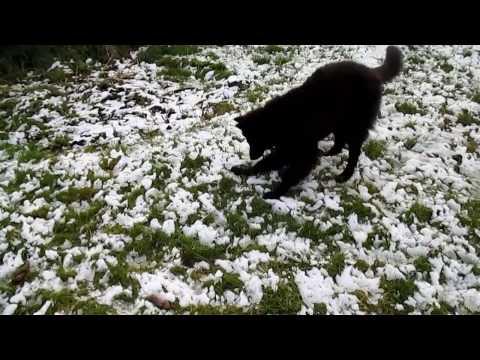 jynx the groenendael belgian shepherd dog plays in the snow