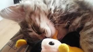 Котенок курильский бобтейл/ знакомство с новым домом/ kurilian bobtail kitten