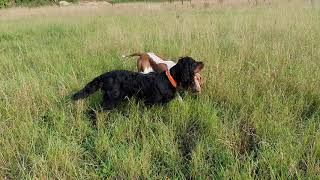 Bonni (Gordon Setter and 14mth old Bella (Bracco Italiano) hunting pheasant.