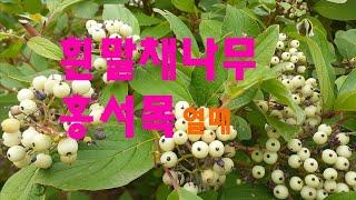 [피터의 일상] 흰말채나무 홍서목 빼빼목 열매