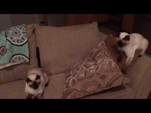Funny Siamese cats