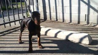 Alonzo A 12wk Imported Hungarian Doberman Showing Drive
