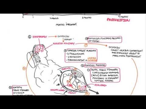 Parturition - Pregnancy, Hormones, Giving Birth