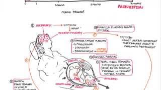 Parturition - Pregnancy, Hormones, Giving Birth