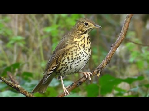 Song Thrush Birds Singing - Beautiful Relaxing Bird Sounds and Video