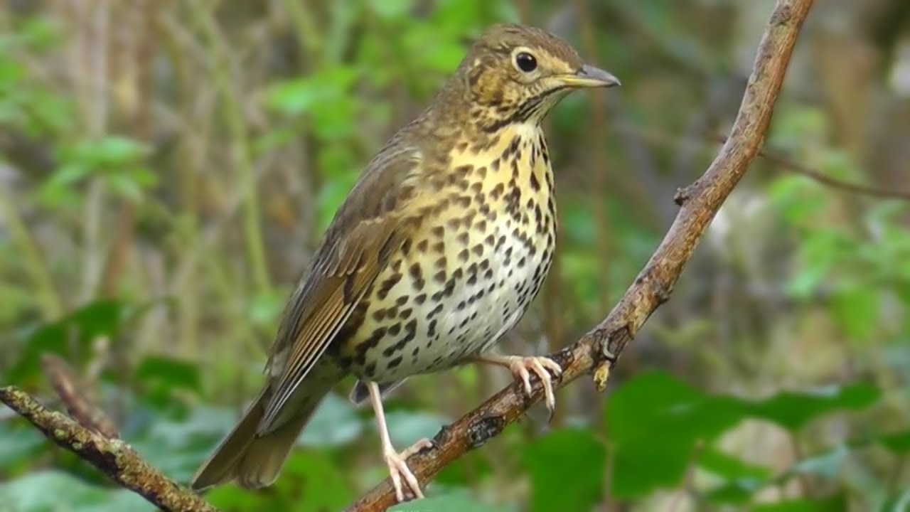 """Are bird songs """"music""""? - Drooble The Blog"""