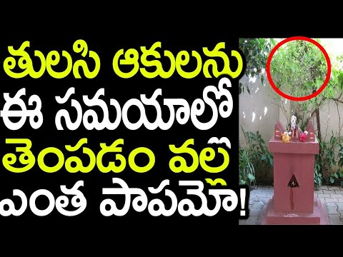 OMG! Do You Know That You Should NOT Pluck Tulasi Leaves in This Time? |  Latest Updates |News Mantra