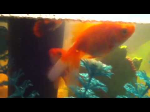 My Gold Fish Making Bubbles