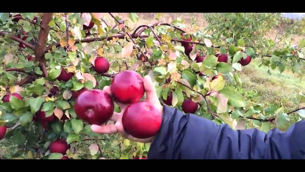 20 авг 2013. Розовый жемчуг — сорт яблок с ярким розовым или красным цветом мякоти и фруктово-ягодным вкусом.