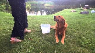 Bean A Golden Retriever Makes A Splash For The Als Ice Bucket Challenge. Woo Woo!
