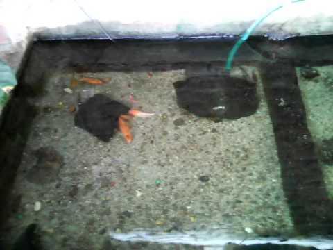 Estanque de agua dulce youtube for Estanque de agua