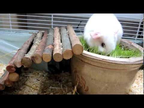 Guinea pigs: Timi + Myška - Flowerpot with grass