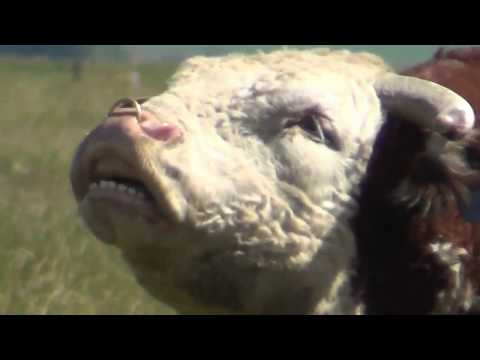 Big Hereford Bull Courting And Mating Cows