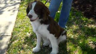 Meet Sinbad A Spaniel, English Springer Currently Available For Adoption At Petango.com! 2/17/2011 1