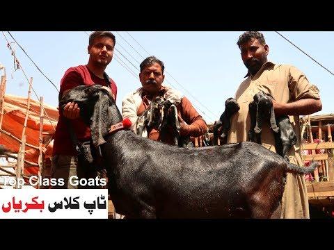 Top Class Goats - Desi Sahiwal Bakriyan Shahpur Kanjra Mandi