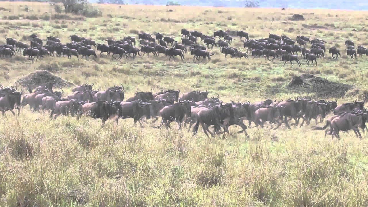 Wildebeest Stampede In Masai Mara Kenya Youtube