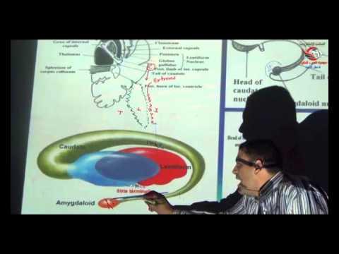 Dr Ahmed Elzainy Basal ganglia Neuroanatomy   الدكتور احمد الزيني