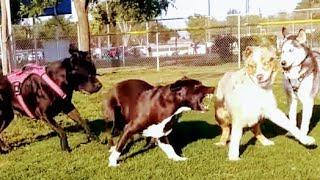 Pitbull Mix Not Intimidated By Dog Gang At Dog Park