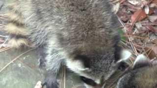 Abandoned 5-6 week old? Raccoons Feeding & Purring