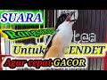 Cendet Agar Bunyi Gacor Rangsang Dengan Pancingan Cendet Paling Ampuh Ini  Mp3 - Mp4 Download