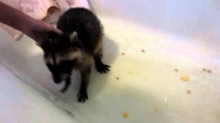 Flirty Girl raccoon in bathtub