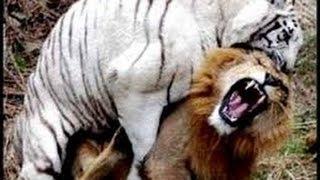 VeVoo DOCUMENTAL -  PELEA DE FELINOS THE BEST DOCUMENTARIES ANIMALES SALVAJES INCRIBLES Y ASOMBROSOS