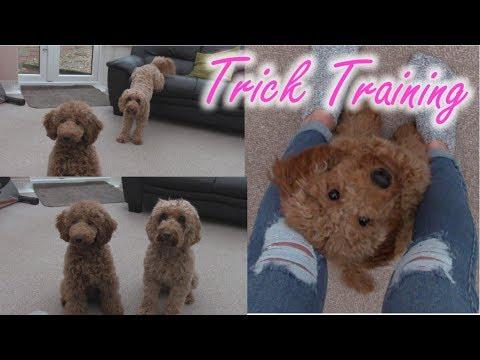 Trick Training - Poppy Cockapoo & Mini Fizz