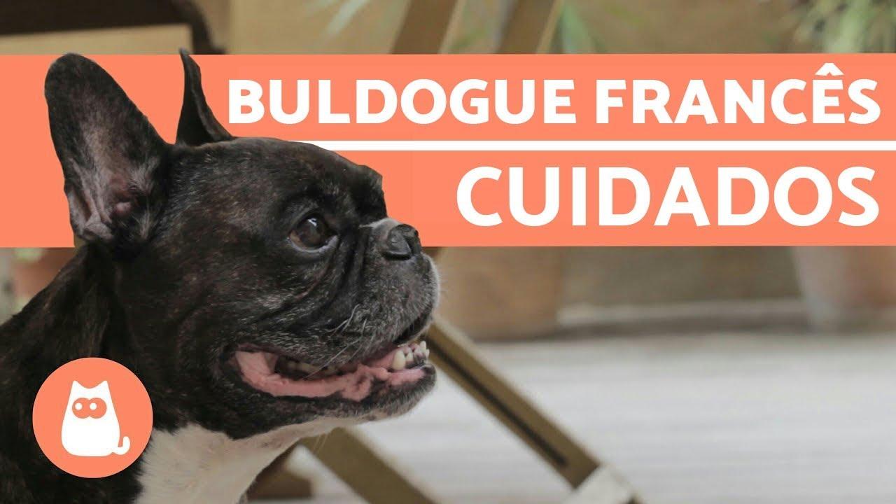 Buldogue franc s cuidados importantes youtube - Bulldog frances gratis madrid ...
