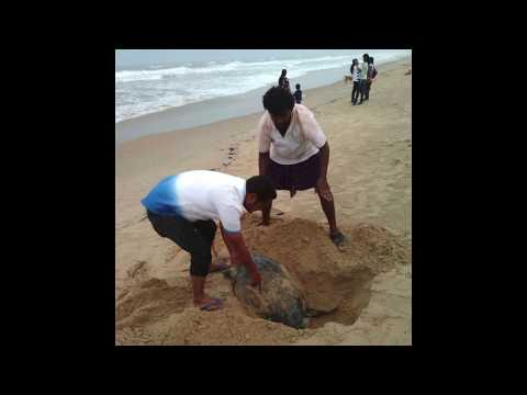Dead Olive Riddle Turtles arrive beach belt Paradip