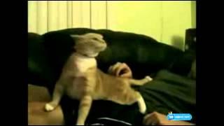 Видео приколы онлайн Кошка прётся реальный прикол смотреть онлайн бесплатно Кошка прётся реальный пр