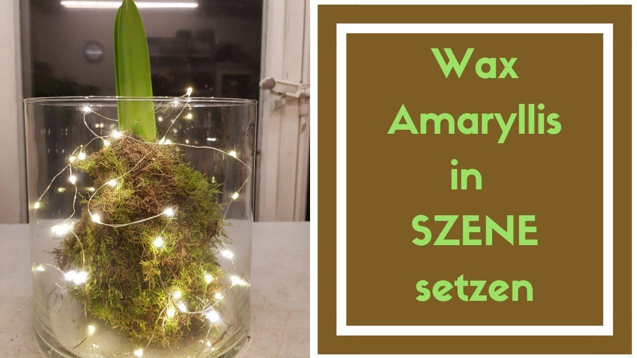 wachs amaryllis im glas dekorieren ostseesuche com. Black Bedroom Furniture Sets. Home Design Ideas