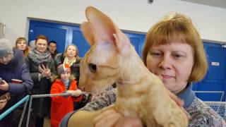 КОРНИШ РЕКС порода кошек выставка кошек Минск 2017