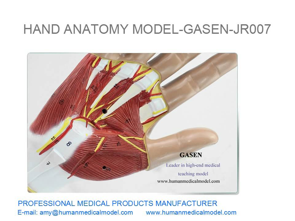 MUSCLES NEUROVASCULAR ANATOMY HAND TENDON LIGAMENT JOINTS HAND ...