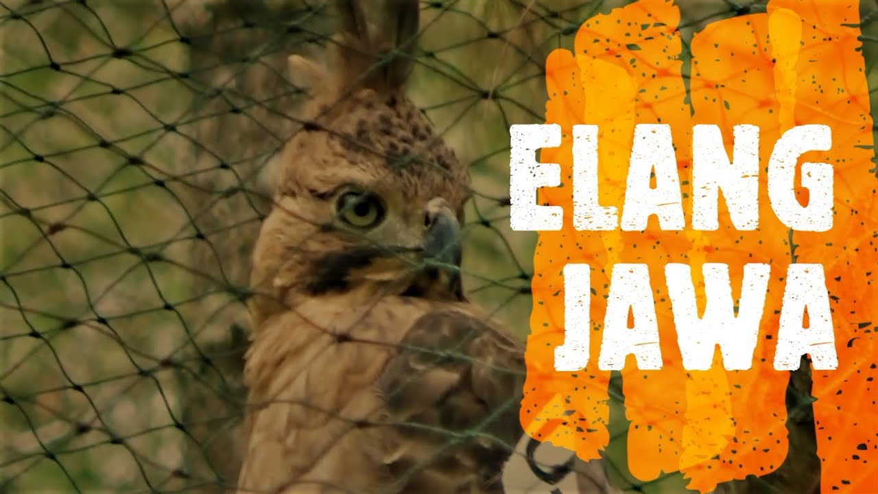 Maybe you would like to learn more about one of these? ELANG JAWA IDENTIK BURUNG GARUDA, lepas liar di cagar alam ...