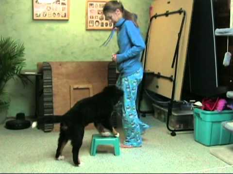 18 wk old Bernese Mountain Dog's Tricks