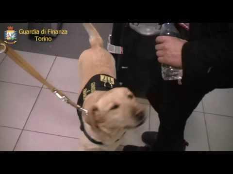 TORINO-CASELLE - Cani della Guardia di Finanza fanno arrestare spacciatore