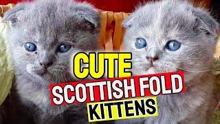 Scottish Fold Cat | Cute Scottish Fold Kitten | Scottish Fold Compilation
