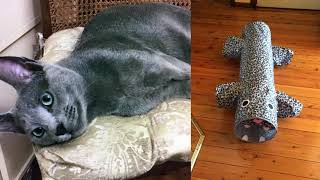 Russian Blue cat Bowie Part 5. Tunnel Training
