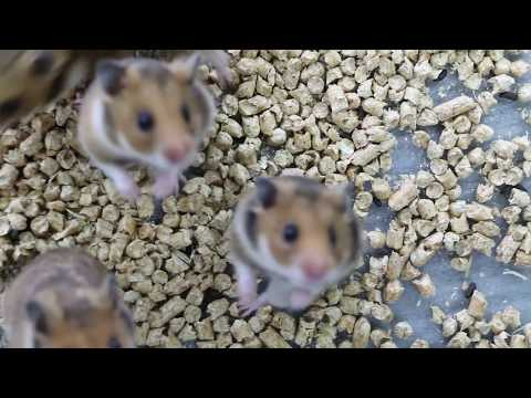Healthy baby dwarf and syrian hamsters in a Singapore pet shop
