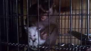 Shaki Kidnapping My Kitten Shakido