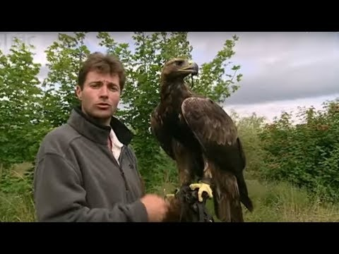 Real birds eye view! Golden Eagle in flight - Animal Camera - BBC