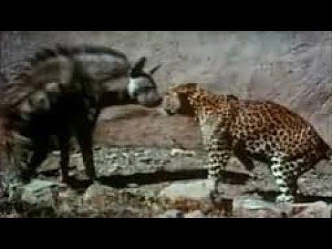 Leopard Vs Hyena Real Fight - Wild Animals Attack