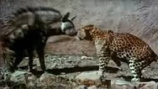 Leopard vs Hyena real Fight - Wild Animals Attack